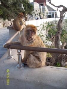 Affenbande auf Gibraltar